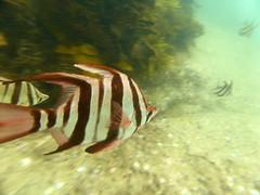 20170425-ANZAC B&B-100 (frannyfish) Tags: bold beautiful manly anzac ocean swim