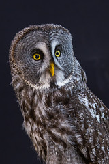 Great Grey (maxinneball) Tags: great grey owl raptor canadian conservancy ngc