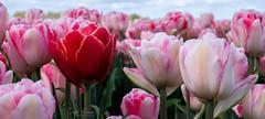 Same but Different (Inky-NL) Tags: landschap bloemen bollen bollenvelden nederland tulpen tulips flowers netherlands pink red ingridsiemons©2017 fujixt2 tulip macro flower