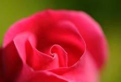 abbracciami... (andrea.zanaboni) Tags: rosa rose fiore flower primavera spring nikon macro profumo abbraccio nikonflickrtrophy