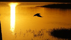 American Bittern Sunrise Silhouette - - SONY A580 (country67) Tags: americanbittern sunrise silhouettes avian sonya580 vierawetlands brevardcounty flight wing feather florida naturephotography flickrnature adardurden birdphotography centralfloridawetlands country67 dslr earlymorninglight fly golden officialnationalgeographic ritchgrissommemorialwetlands thefloridaphotographer wildbird wildlifephotography wildflorida popularphotographymagazine