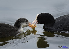 Coots feeding time. (Explored) (spw6156 - Over 5,540,238 Views) Tags: coots feeding time iso 800cropped copyright steve waterhouse springwatch explored