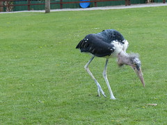 Moses - The  Marabou Stork, (FloraandFauna_2) Tags: marabou stork thorp perrow arboretum beadeale north yorkshire