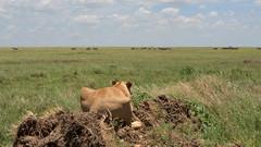 Lion's eye view (John Kok) Tags: tanzania namiri april2017 lion pantheraleo nikkor7020028evr2