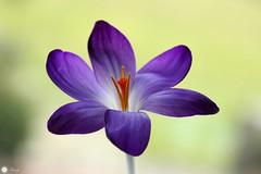 Mysterious stranger (Trayc99) Tags: flower crocus petals nature beautyinnature beautyinmacro beautiful floral purple delicate macro closeup plant garden