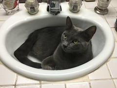 How can I brush my teeth?! (Philosopher Queen) Tags: teddy cat chat gato catinasink funny graycat bluecat kitty leo