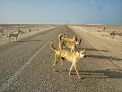 Wild dogs in the Sahara.