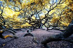 _DSC6458 Twisted Angel Oak- Color Infrared Film-NIK filter. (Explored) (Charles Bonham) Tags: angeloak charlestonsc oaktree liveoak infraredfilm branches leaves sonya7r sonyzeissfe1635mmf4 charlesbonhamphotography nik hss