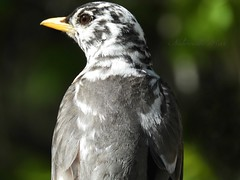 Robin profile (NaturewithMar) Tags: american robin bird macro 7dwf closeup leucistic