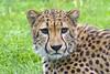 intense stare (ucumari photography) Tags: ucumariphotography cincinnati ohio zoo april 2017 cheetah stare animal mammal dsc1834 specanimal