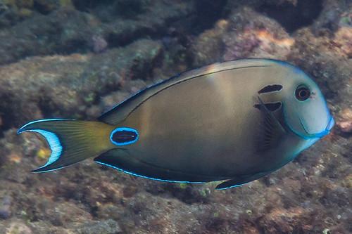 Tennent's Surgeonfish - Acanthurus tennenti