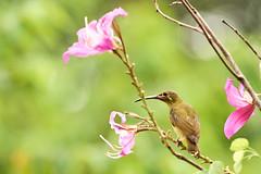 BOR_8743 (lucvanderbiest) Tags: olivebackedsunbird staalborsthoningzuiger borneo maleisië sabah sepilok rainforestdiscoverycenter