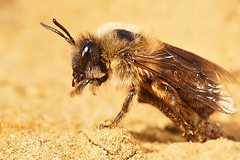 Colletes cunicularius, female (henk.wallays) Tags: