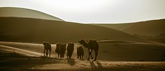 _CDH8912 (Andrew Bee 1dx) Tags: desert the horizon dune light shadow artistic conception camel group china xinjiang uygur autonomous region badain jaran twilight wilderness silhouette nofolkmusichere