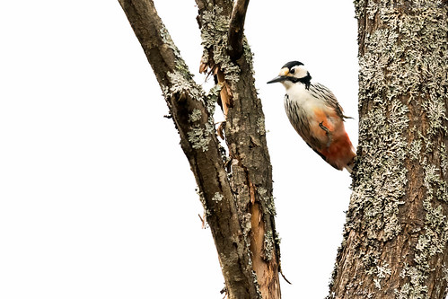 White-backed woodpecker on a white background