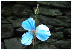 MECONOPSIS GRANDIS (tommypatto : ~ IMAGINE.) Tags: quintaflower flores flowers blue poppies ngc