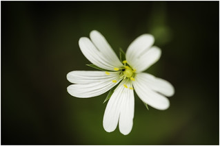 Macro Mondays (Option) - Member's Choice: Into the Woods - Greater Stitchwort (Stellaria Holostea)