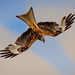 Red kite dive