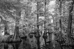 Fairies' Forest (John C. House) Tags: everydaymiracles nik nikon infrared d70s johnchouse tennessee monochrome lowlight blackandwhite cypress reelfootlake