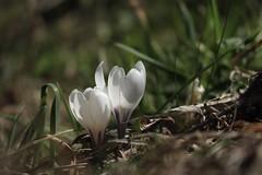 crocus (bulbocode909) Tags: fleurs crocus nature montagnes printemps herbe vert valais suisse montchemin