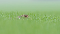 Hidden Brown Hare (Wouter's Wildlife Photography) Tags: brownhare hare lepuseuropaeus mammal animal rodent nature naturephotography wildlife wildlifephotography billund hidden explore