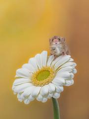"Harvest Mouse ""Hello"" (Explored) (susie2778) Tags: captivelight studio flash bournemouth olympus omdem1mkii 60mmmacrof28 harvestmouse flower macro captive gerbera"