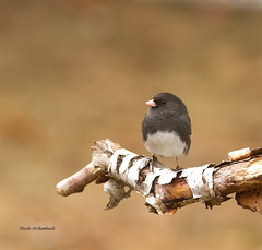 Junco ardoisé - Dark-eyed Junco (Nick288) Tags: juncoardoisédarkeyedjunco