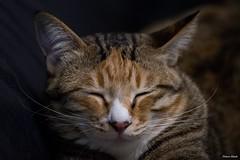 咖波 - Capoo 約1歲大 - Around one year old (prince470701) Tags: 貓 cat sonya99 taichungcity taiwan sigma70300mm