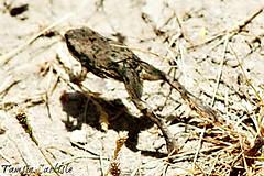 Dhofar Toad in Motion (tinlight7) Tags: hopping jumping toad amphibian dhofartoad juvenile rasalkhaimah rak uae hajar hajarmountains wetland taxonomy:kingdom=animalia animalia taxonomy:phylum=chordata chordata taxonomy:subphylum=vertebrata vertebrata taxonomy:class=amphibia amphibia taxonomy:order=anura anura taxonomy:family=bufonidae bufonidae taxonomy:genus=duttaphrynus duttaphrynus taxonomy:species=dhufarensis taxonomy:binomial=duttaphrynusdhufarensis duttaphrynusdhufarensis taxonomy:common=dhofartoad