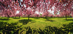 Cherry Blossom Park (FH | Photography) Tags: berlin lichterfelde park kirschblüte kirschblütenbuam baumblüte frühling schatten bäume baum tag natur draussen outdoor panorama pano deutschland de germany stadt ruhe erholung lilienthalpark gras liegewiese cherry blossom landschaft