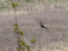 Northen Flicker (misiekmintus) Tags: bc britishcolumbia birds birding birdwatching okanagan penticton canada nature natur naturaleza northwest pacificnorthwest