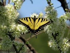 Tigar Swallowtail on Pear Blossoms. (~~BC's~~Photographs~~) Tags: bcsphotographs canonsx50 easterntigerswallowtail butterfly aroundthefarm inourwoods spring outdoors naturephotos closeups blooms ourworldinphotosgroup earthwindandfiregroup explorekentucky