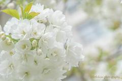 Pure White (littlekiss☆) Tags: sakura cherryblossoms spring fullbloom vancouver littlekissphotography