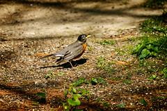 When the Red, Red Robin Comes Bob, Bob, Bobbin' Along (jwfuqua-photography) Tags: jwfuquaphotography backyardbirds nature jerrywfuqua pennsylvania birds peacevalleynaturecenter buckscountyparks buckscounty robin