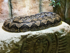 Memphis Zoo 08-31-2016 - Reticulated Python 1 (David441491) Tags: memphis reptile