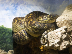 Memphis Zoo 08-31-2016 - Amethystine Python 1 (David441491) Tags: memphis reptile