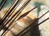 Stegopontonia commensalis (PacificKlaus) Tags: malapascua visayas philippines ocean diving scuba peopleandthesea urchin diadema commensal stegopontoniacommensalis palaemonidae