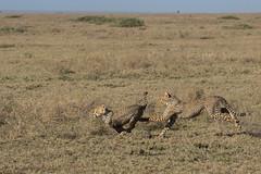 Just having fun! (Ring a Ding Ding) Tags: 2017 acinonyxjubatus africa animal bigcat ndutu nomad serengeti tanzania cat cheetah cubs nature outdoor predator safari wildcat wildlife arusharegion coth coth5