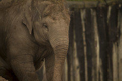 (_jypictures) Tags: elephant animalphotography animals animal canon7d canon canonphotography chester chesterzoo zoo zoophotography jyphotography jypictures photography pictures wildlife wildlifephotography nature naturephotography