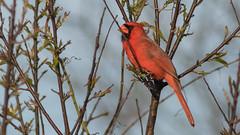 Assateague Cardinal (Ken Krach Photography) Tags: cardinal