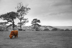 Red Bull 131/365 (rmrayner) Tags: highlandcow northdevon selectivecolourpop redbull landscape seascape tapeleypark blackandwhite 131365 365project 365the2017edition slidersunday