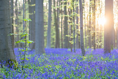 Hallerbos's Sunset (Fab Boone Photo) Tags: flare nature sunset sun bleu flowers trees forest spring fabienboone fabboone
