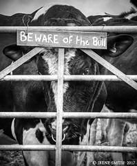 Beware Of The Holstein Bull / Take Heed! (Lensational) Tags: bull bullock holstein cow farm farming wales carmarthenshire crwbin black white canon 350d beware take heed gate milk irenesmith bovine 0utdoor animal