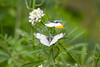 Orange-tip butterflies (Anthocharis cardamines) mating (Ian Redding) Tags: anthochariscardamines british cardaminepratensis european pieridae uk butterfly copulation courtship fauna female genitalia incop inflight insect invertebrate male mating nature orange orangetip reproduction sex springtime white wildlife