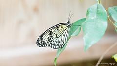 JM foto75-150 (janetankersmit) Tags: 2017 vlinders vlindertuin zutphen