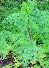 Poison Hemlock - Conium maculatum (tlhowes2012) Tags: medicinal poison sedative homeopathy galactofuge emetic cancer antispasmodic antirheumatic analgesic
