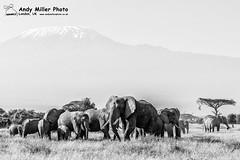 20160217-08-48-21_B017574 BW 2000px (ajm057) Tags: 8takenusing africa africanelephantloxodontaafricana africanbushelephantloxodontaafricana amboselinationalpark andymillerphotolondonuk blackwhitephotography elephantidaeelephants kenya loxodonta mammal nikond810 proboscideaelephants reservesparks wildlifephotography african elephant