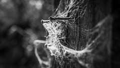 The time has passed (voxpepoli) Tags: bw monochrome blackwhite nail spikes nails cobweb rusty old abandoned wood
