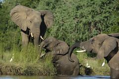 Elephants Crossing the River (Joe Tecza) Tags: zambezi zambeziriver lowerzambezinationalpark zambia canoe canoetrip elephant elephants