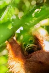 BO1_7633 (lucvanderbiest) Tags: orangoetang borneo maleisië sabah danumvalleywildlifereserve